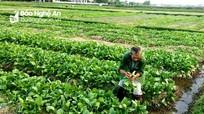 Nghệ An: Hàng nghìn tấn rau 'nằm ruộng' chờ đầu ra