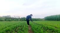 Nông dân vựa rau gia vị ở Nam Đàn phải cắt đổ bỏ vì không biết bán cho ai