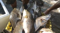 Hàng trăm tấn cá đặc sản của Nghệ An 'tắc' đầu ra