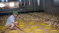 Nông dân Nghệ An tập trung tái đàn cung ứng thị trường Tết
