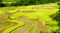 Mùa vàng ở vùng cao Nghệ An