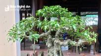 Cận cảnh những cây bonsai độc đáo của người dân xứ Lường