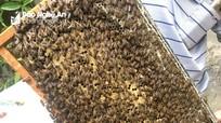 Chộn rộn mùa ong làm mật