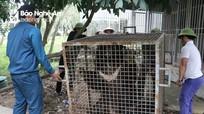 Nghệ An: Phát hiện cá thể gấu quý hiếm bị nuôi nhốt từ 3 năm nay