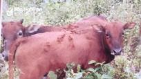 Khởi tố 4 người đàn ông trộm bò xẻ thịt chia nhau