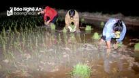 Nông dân Nghệ An cấy đêm chạy hạn