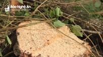 Quỳnh Lưu: Người dân đốn hạ rừng phi lao phòng hộ ven biển để làm củi
