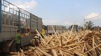 Hơn 80% diện tích keo ở Nghệ An được bán là keo non