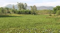 Vất vả 'giải cứu' kênh mương ở Yên Thành 'nghẹt thở' vì bèo tây