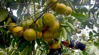 Nghệ An: Quýt ngọt PQ tại vườn dưới 10.000 đồng/kg