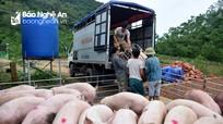 Nghệ An: Thịt lợn hơi tăng giá kỷ lục