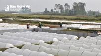 Yên Thành gieo cấy gần 1.000 ha lúa VietGAP