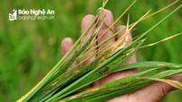 Nghệ An: Bệnh đạo ôn lây lan trên 127 ha lúa xuân