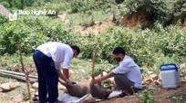 Khoanh vùng dập dịch lợn ở xã biên giới Keng Đu (Kỳ Sơn)