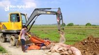 Nghệ An: Hàng chục trại chăn nuôi bị xóa sổ đàn lợn do nhiễm dịch tả