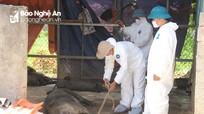 Dịch tả lợn Châu Phi đã lan ra tất cả 21 huyện, thành, thị ở Nghệ An