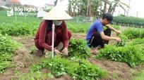 Giống rau mới dễ trồng cho thu nhập cao ở vựa rau màu Nghệ An