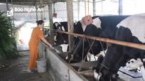 Nông dân Nghệ An trên đà giảm mạnh đàn bò sữa