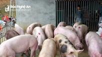 Các chủ trang trại ở Nghệ An nói gì khi giá thịt lợn vẫn chưa giảm?