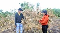 Vợ chồng trẻ ở Nghệ An khóc ròng vì vườn cam sắp thu hoạch bị cháy rụi