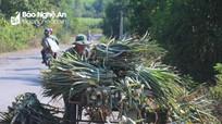 Một thôn ở Nghệ An 'bay' gần nửa tỉ đồng vì dứa bất ngờ ra quả sớm