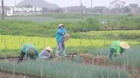 Nông dân Nghệ An tất tả thu hoạch rau chạy bão số 2