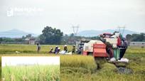 Nông dân Nghệ An thu hoạch lúa hè thu chạy lụt
