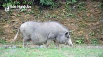 Thịt lợn đen miền Tây Nghệ An giá 200.000 đồng/kg vẫn không có để mua