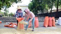 Giá lúa tại Nghệ An tăng mạnh nhất trong 5 năm gần đây