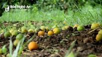 Làm thế nào để hạn chế bệnh rụng quả trên cam?