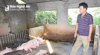 Nghệ An: Dịch tả lợn châu Phi tiếp tục tái phát ở 11 huyện, thành phố
