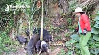 Lợn đặc sản miền Tây Nghệ An khan hiếm, giá 200.000 đồng/kg