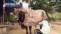 Người dân vùng cao Nghệ An khoác chăn giữ ấm cho bò