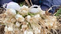 Hành tăm Nghệ An thu hoạch sớm, giá cao gấp 3 lần chính vụ