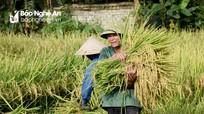 Nghệ An giá lúa tăng chưa từng có, trên 9.000 đồng/kg