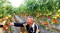 Nông dân Nghệ An trồng cà chua vụ đông thu lãi 25 triệu đồng/sào