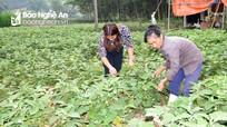 Nông dân Nghệ An trồng cà pháo thu nhập tới 200 triệu đồng mỗi héc-ta