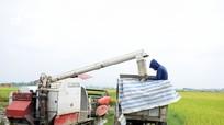 Lo giông lốc, nông dân Nghệ An khẩn trương thu hoạch lúa xuân