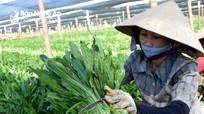 Rau mùi tàu Nghệ An xuất khẩu sang Hàn Quốc
