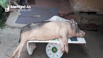 Dịch tả lợn châu Phi tái phát tại 13 xã của huyện Diễn Châu
