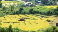 Rẻo cao Nghệ An thu hoạch lúa tránh bão số 7