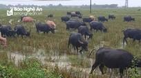 Người dân Nghệ An đầu tư tiền tỷ vỗ béo trâu trên cánh đồng bỏ không