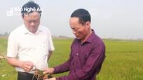 Gần 35 ha lúa VTNA2 cháy vàng rụi chưa rõ nguyên nhân