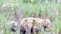 Dự kiến chi 18,7 tỷ đồng để bảo vệ khẩn cấp đàn voi Nghệ An
