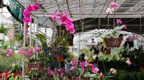 Thị trường hoa Tết thành Vinh bắt đầu nhộn nhịp