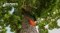 Nghệ An: Cận cảnh hàng chục cây cổ thụ nửa thế kỷ che mát trường làng