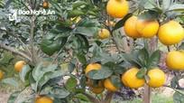 Nghệ An: Quy hoạch phát triển 180 ha cam Xã Đoài
