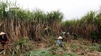 Nghệ An: Giá mía cao nhất đạt 1.150.000 đồng/tấn tại ruộng
