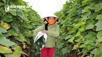 Nông dân Anh Sơn thu hoạch bí xanh đặc ruột bán giá cao kỷ lục