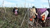 Cà chua khô cháy, nông dân vùng rau trọng điểm Nghệ An trắng tay